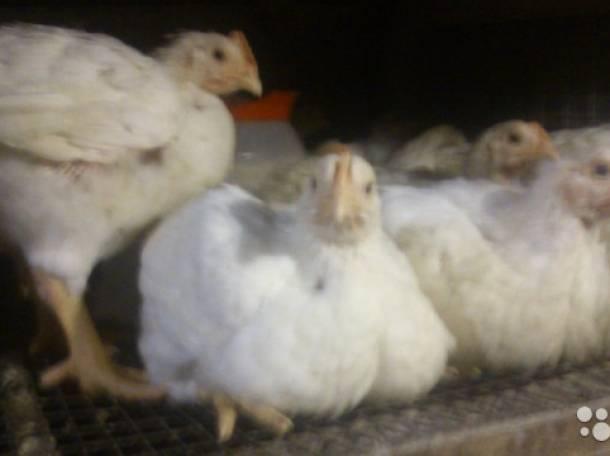 Месячные цыплята бройлеры, фотография 1