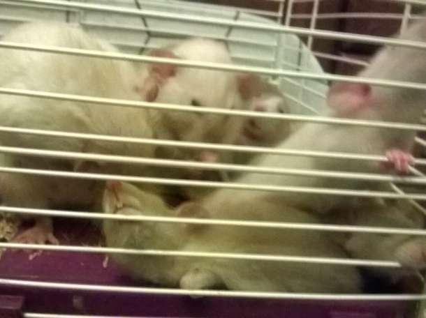 Сиамские дамбо крысята, фотография 1