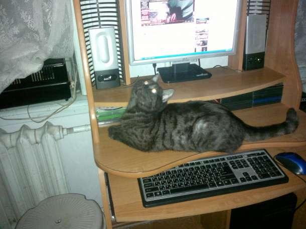 вязка британского кота , фотография 3