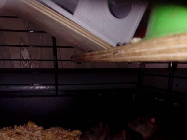 Четверо миленьких декоративных крысят-девочек ждут новых хозяев!, фотография 2