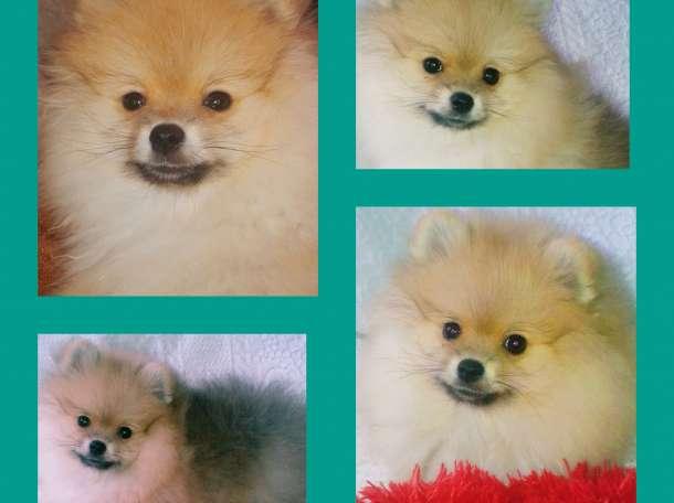 Продается щенок щпица, фотография 2