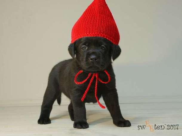 Вы хотите щенка коричневого или черного окраса лабрадора?, фотография 2