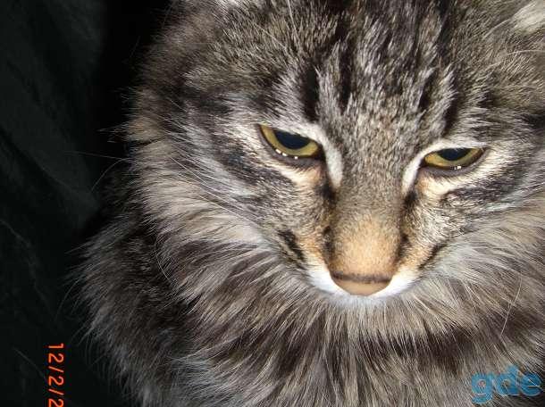 отдам в хорошие руки котят приученных к туалету. годовалую пушистую кошку-Машку и  кота Барсика., фотография 3