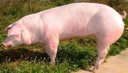 Домашнее мясо свинина, фотография 2