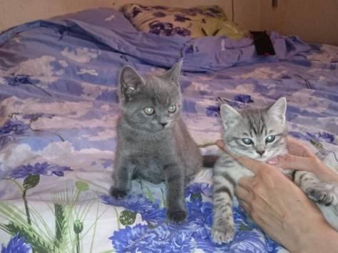 Британский  котёнок, фотография 2