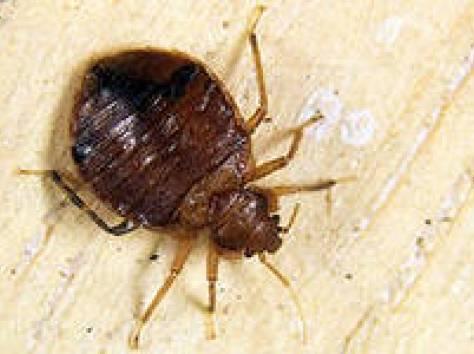 Избавление от клопов, тараканов, блох, муравьёв., фотография 1