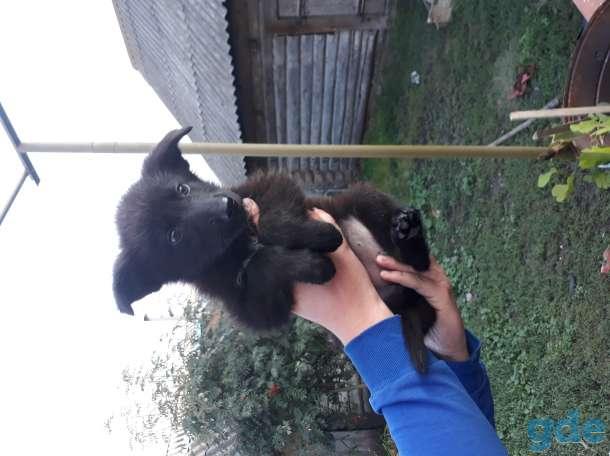 Продам щенков немецкой овчарки, фотография 3