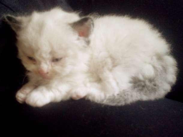 Кудрявые котята, фотография 6