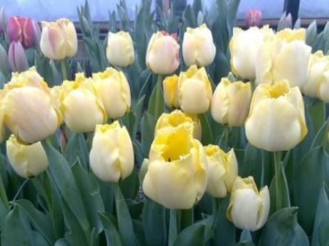 Продам оптом цветы тюльпана к 8 Марта 2015, фотография 2