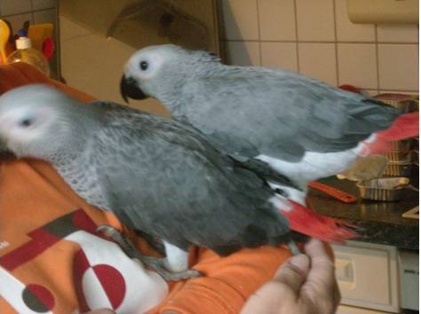Продаются птенцы попугая жако