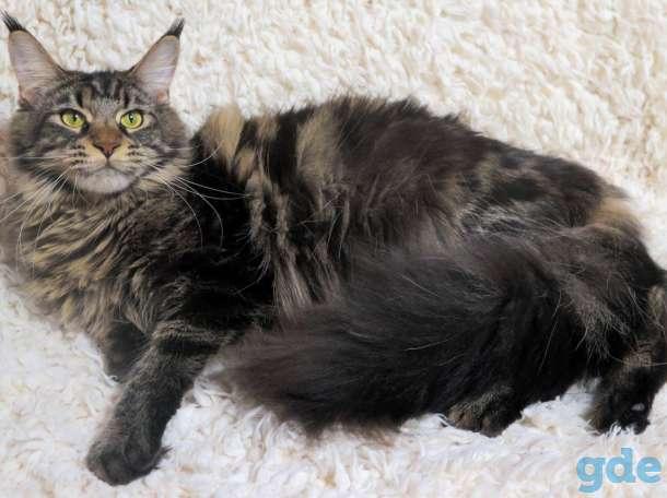 Мейн-куны котята, фотография 1