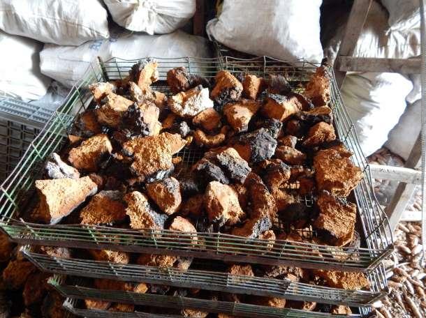 продажа экспорт гриб чага, фотография 2