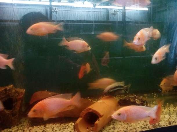 продаю аквариумных рыбок и аквариумы на заказ, фотография 6
