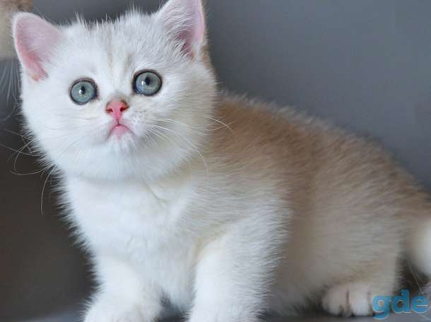 Британские котята шиншиллы