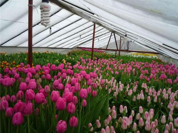 Тюльпаны из Сочи! Авиа доставка по городам России. с 1 сентября по апрель!!!, фотография 3