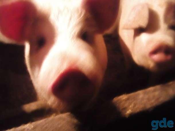 Продою Мясо свинину, фотография 1