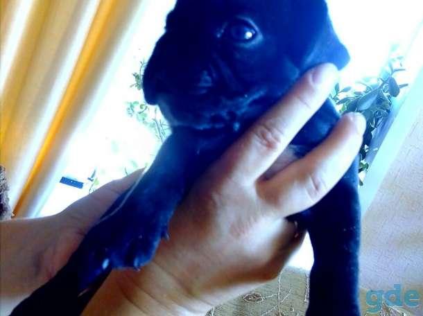 Продаются собаки породы французский бульдог, фотография 2