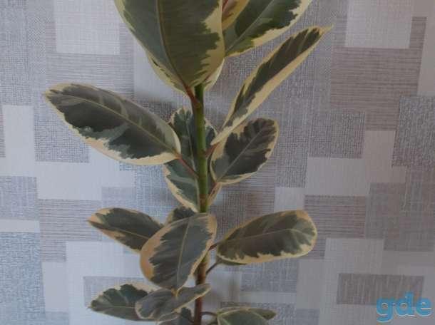 Фикус, финиковая пальма, Денежное дерево (Толстянка), фотография 3