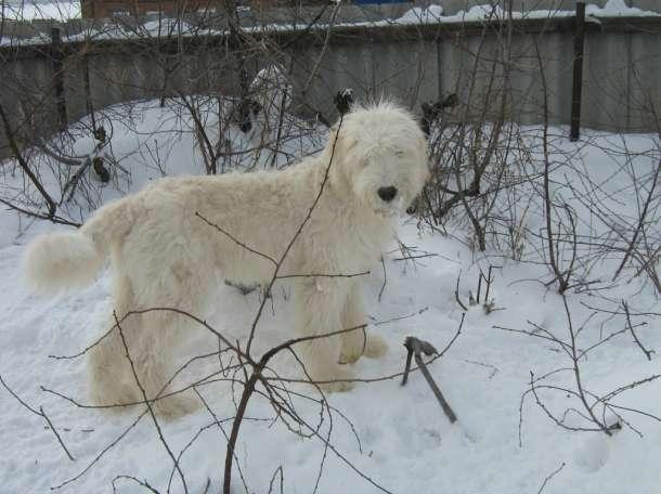Щенки южнорусской овчарки, фотография 1
