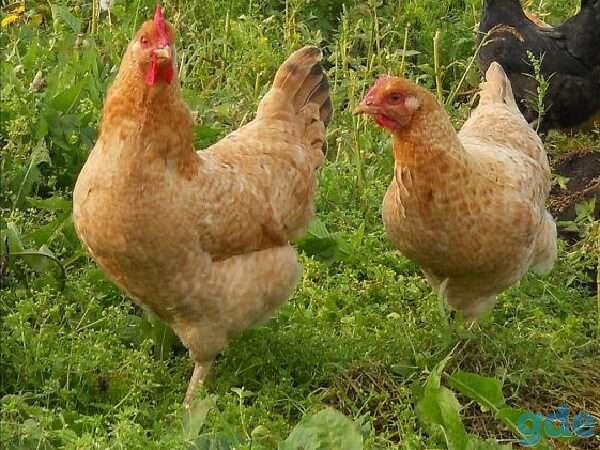 Птицы с лучших племенных хозяйств(куры,гуси), фотография 1