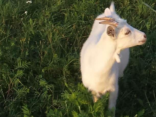 козы, фотография 1