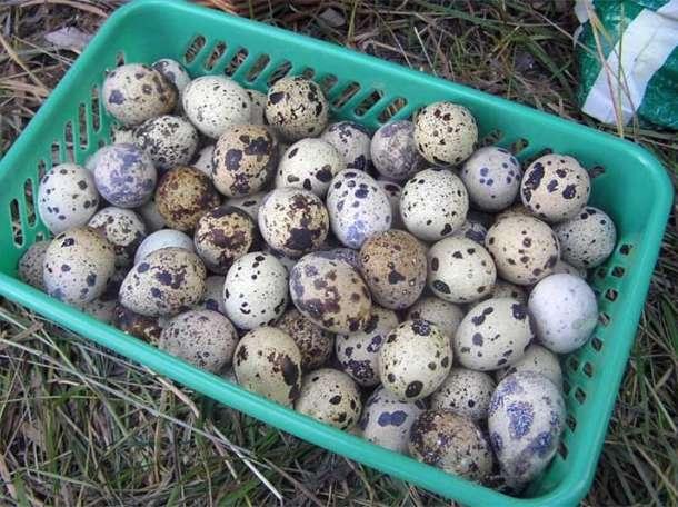 Яйцо перепелиное пищевое, фотография 1