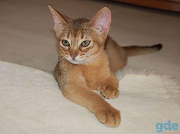 Абиссинские котята, фотография 8