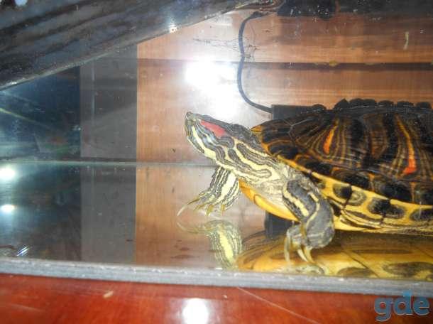Красноухая черепаха, фотография 5