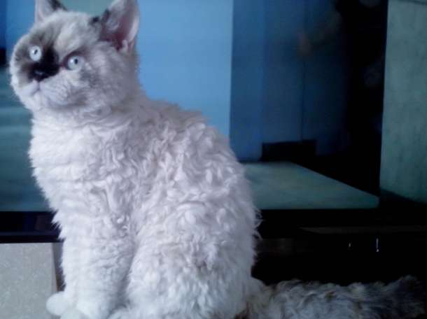 Кудрявые котята, фотография 1