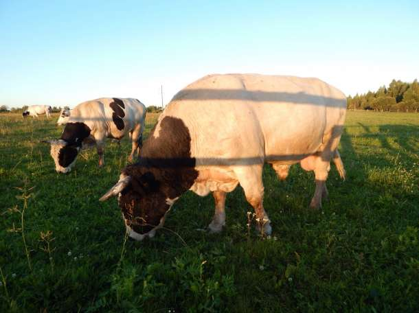 Мясо говядина, фотография 1