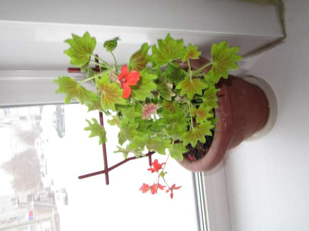 Красивые домашние растения для дома и офиса, фотография 8