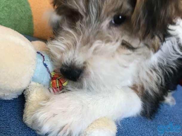 Продается щенок фокстерьер жесткошерстный, фотография 2