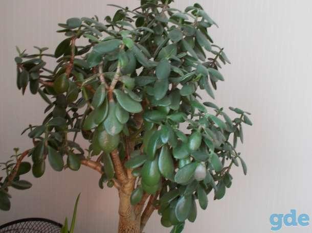 Фикус, финиковая пальма, Денежное дерево (Толстянка), фотография 4