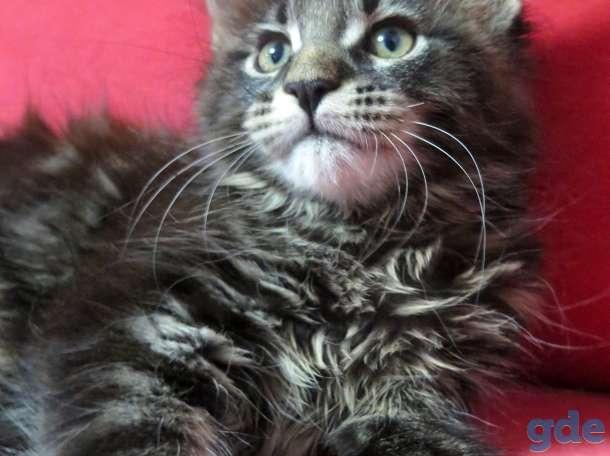 Мейн-куны котята, фотография 5