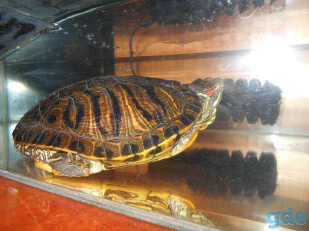 Красноухая черепаха, фотография 2
