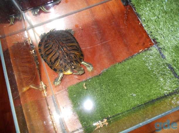 Красноухая черепаха, фотография 4