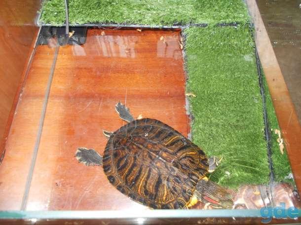 Красноухая черепаха, фотография 6