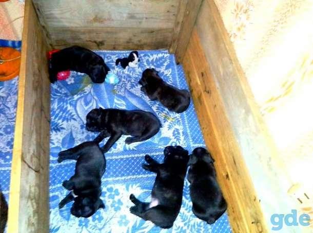 Продаются собаки породы французский бульдог, фотография 4