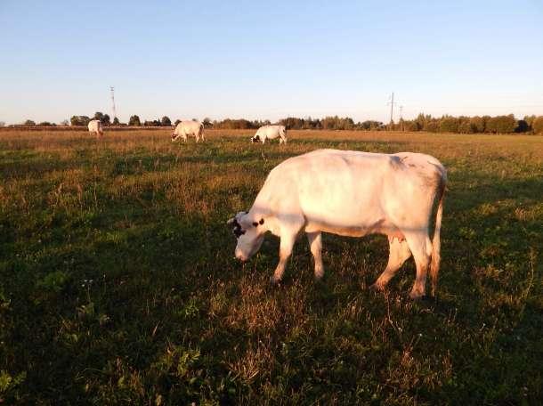 Мясо говядина, фотография 2